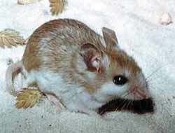 The Anastasia Island Beach Mouse is one of several subspecies of oldfield mouse which live in isolated areas along the coast.