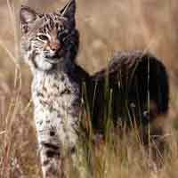 Fort Matanzas National Monument provides habitat for preditors like the bobcat.