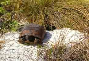 A gopher tortoise warms itself on the apron of its hole.