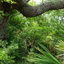 The hardwood hammock is one of the mosaic of habitats at Fort Matanzas National Monument.