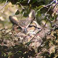 in 2003 a great horned owl nested in a tree behind the visitor center  the coastal hammock forest   fort matanzas national monument  u s       rh   nps gov