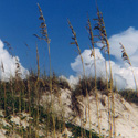 The extensive root system of sea oats helps hold the dunes in place.