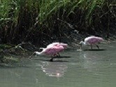 Pink birds wading in the shallow water