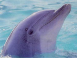 Atlantic Bottlenose Dolphins are frequent visitors to the Matanzas Estuary.