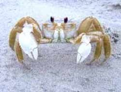 The ghost crab blends in well with its sandy environment.