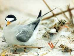 A Least Tern and its speckled baby find a home on the open beach.