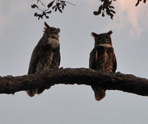 Matanzas Great Horned Owls in Mating Mode