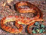 The red rat snake is one of the prettiest of the non-poisonous snakes.