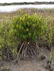 A red mangrove is at its northern-most range at Fort Matanzas.