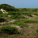 The scrub is a wild, windblown tangle of vegetation between the ocean dunes and the hammock forest.