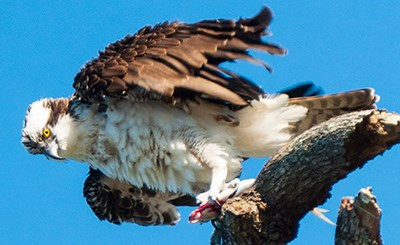 Osprey landing on a tree with a fish in its talons.