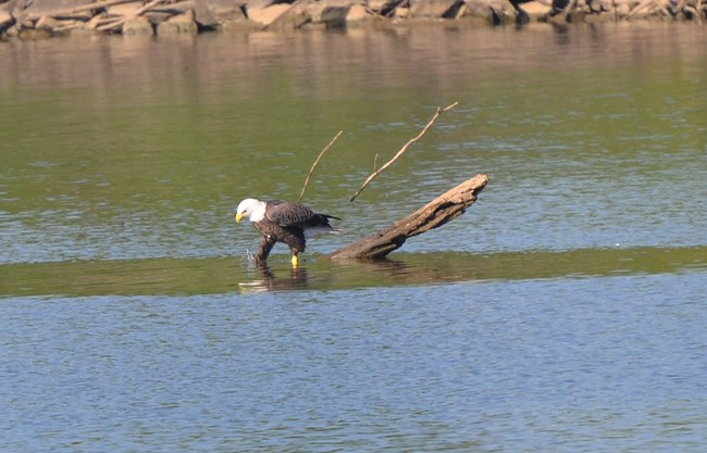 A bald eagle claws below the surface of the water in search of tasty turtles.