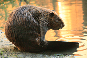 This IS a Beaver!