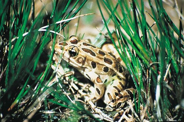 a brown spotted frog in surrounded by tall grass