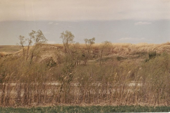 North bank of the Missouri River. Young cottonwood trees in foreground. grassy expanse behind trees.