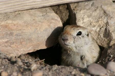 Richardson's ground squirrel peaking out from ground hole