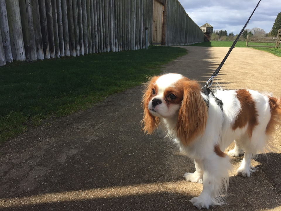 Brown and white Cavalier King Charles Spaniel stands in front of Fort Vancouver.