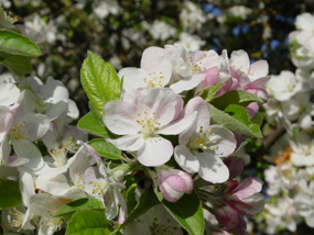 Image of apple blossoms in springtime