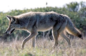 Profile image of an adult coyote