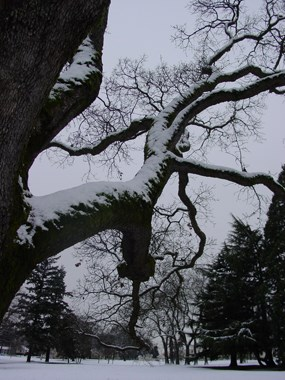 Image of an oak branch covered in snow