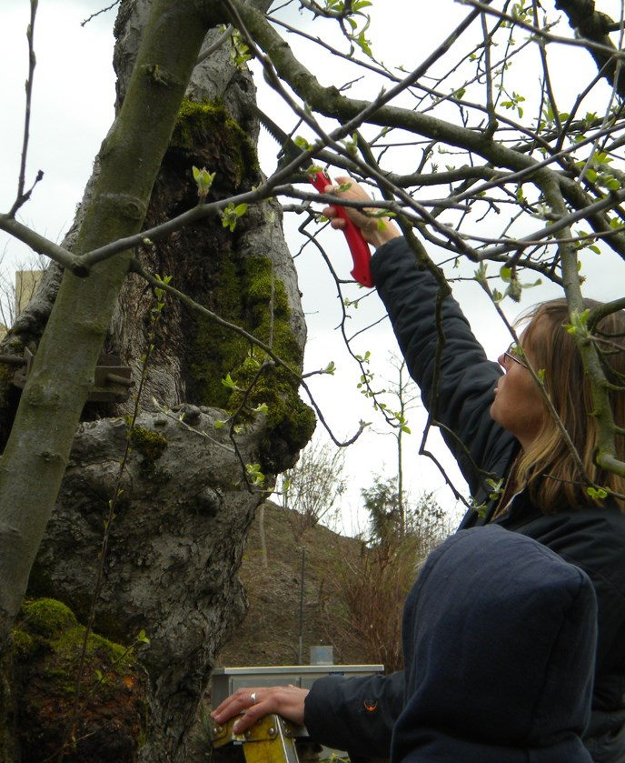 Image of a woman pruning near the trunk of the Old Apple Tree