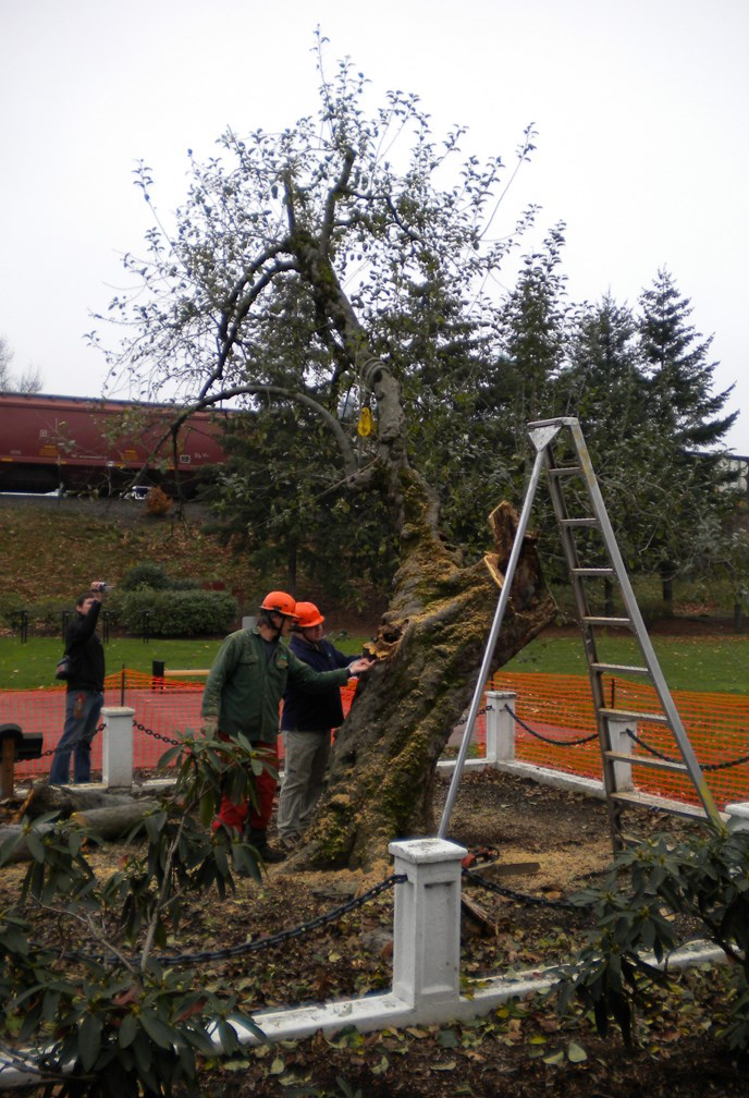 Workers removing storm damaged limbs from the Old Apple Tree