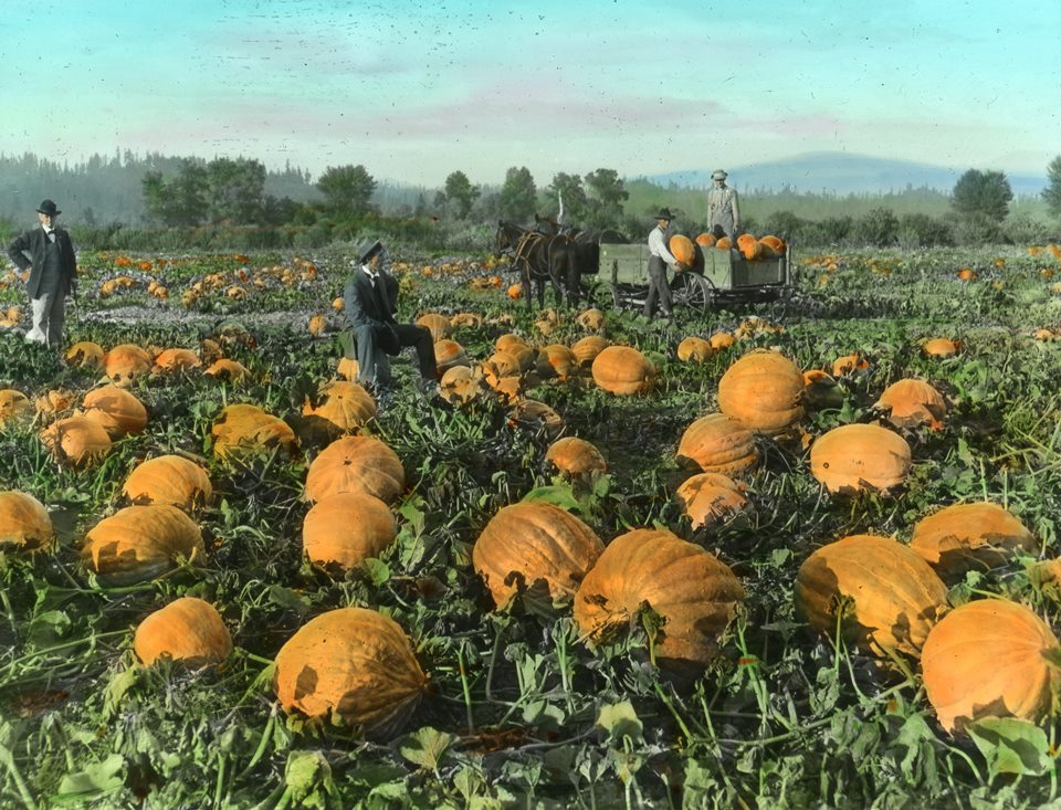 Historic view of pumpkin patch. Men sit on pumpkins and stand next to horse drawn cart filled with pumpkins.