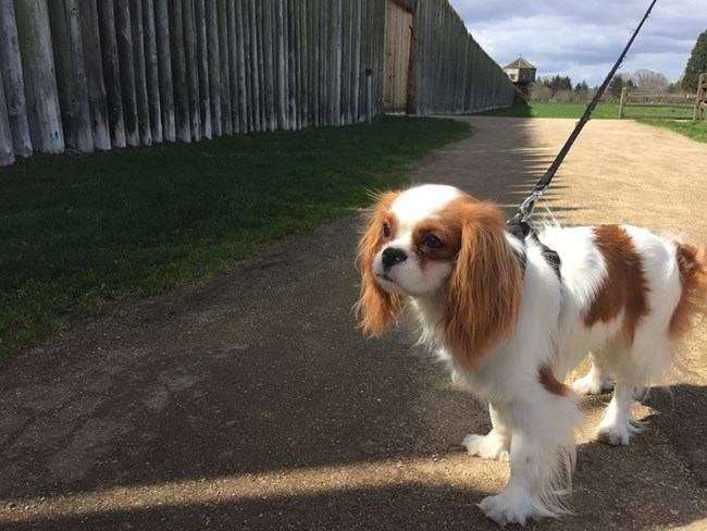 Photograph of dog in front of Fort Vancouver