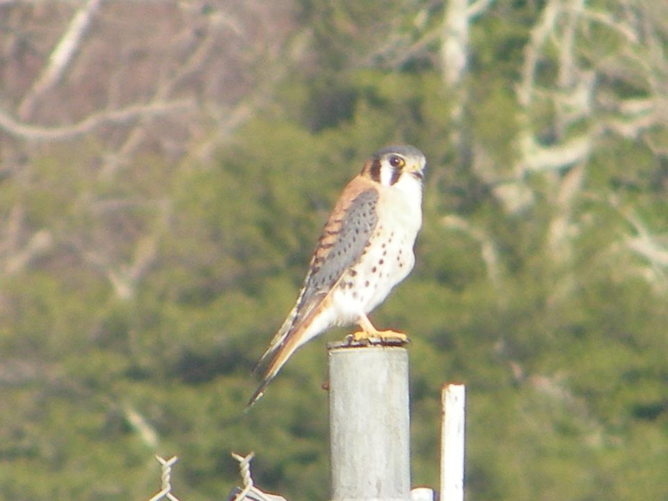 An American Kestrel perched at Battery Decatur.