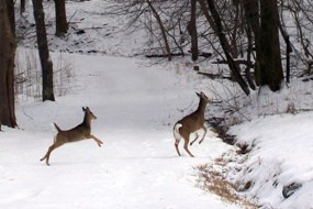 Deer crossing a snow covered road