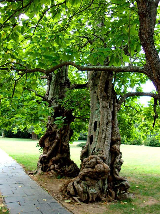 Two Catalpa trees, gnarled and aging, growing next to stone walkway with green leaves