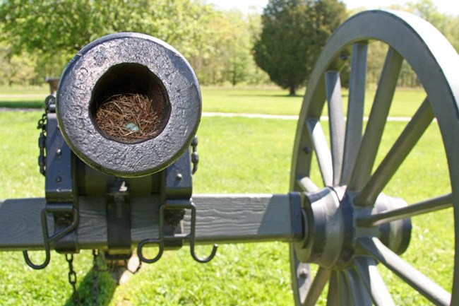 Birds nest with blue egg inside the barrel of a cannon