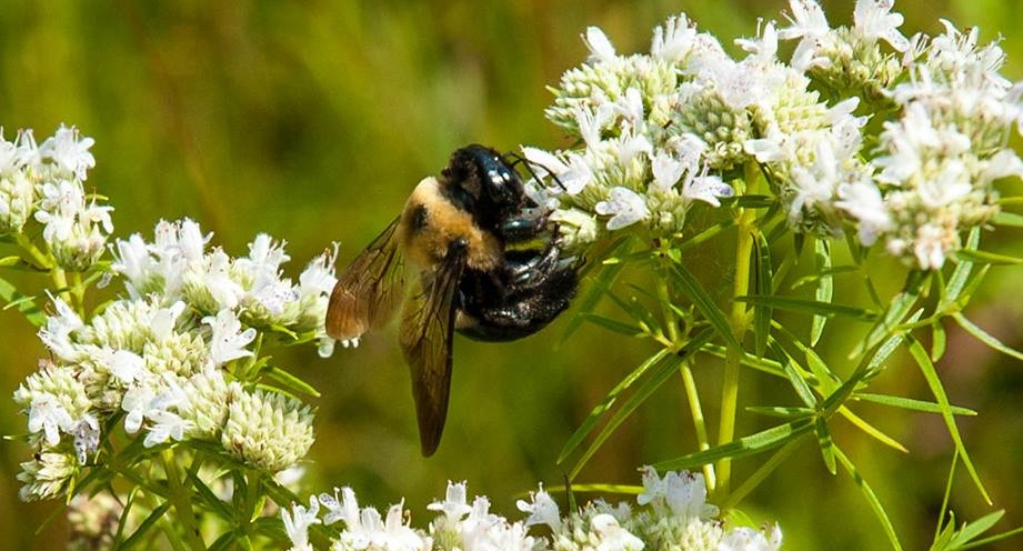 A bumble bee polinates some Narrow Leaved Mountain Mint