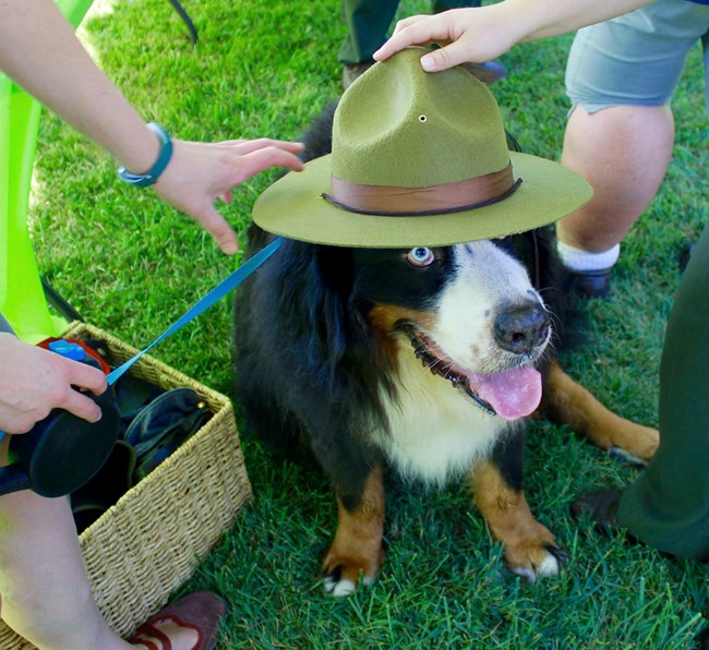 Bernese Mountain Dog on leash sitting in grass and trying on a Junior Ranger hat