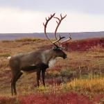 Bull Caribou in fall tundra