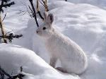 A white hare almost invisible on the snow.