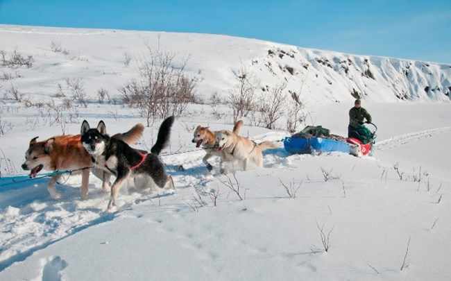 A sled dog team traveling towards the camera in winter