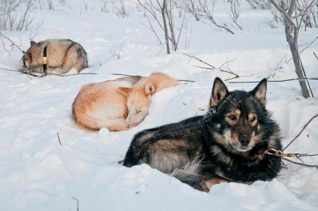Sled dogs curled up resting on the snow
