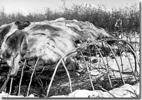 Caribou skins partially covering pole frame