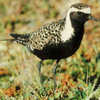 Golden Plovers migrates to Gates of the Arctic from Hawaii, Asia, Australia, and South America.
