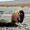 A muskox on a gravel bar looks intently at the camera.
