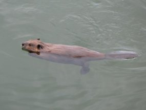 A beaver seen clearly swimming in water.