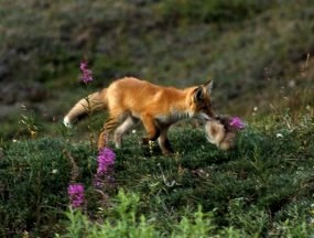 Red fox carrying qiviut
