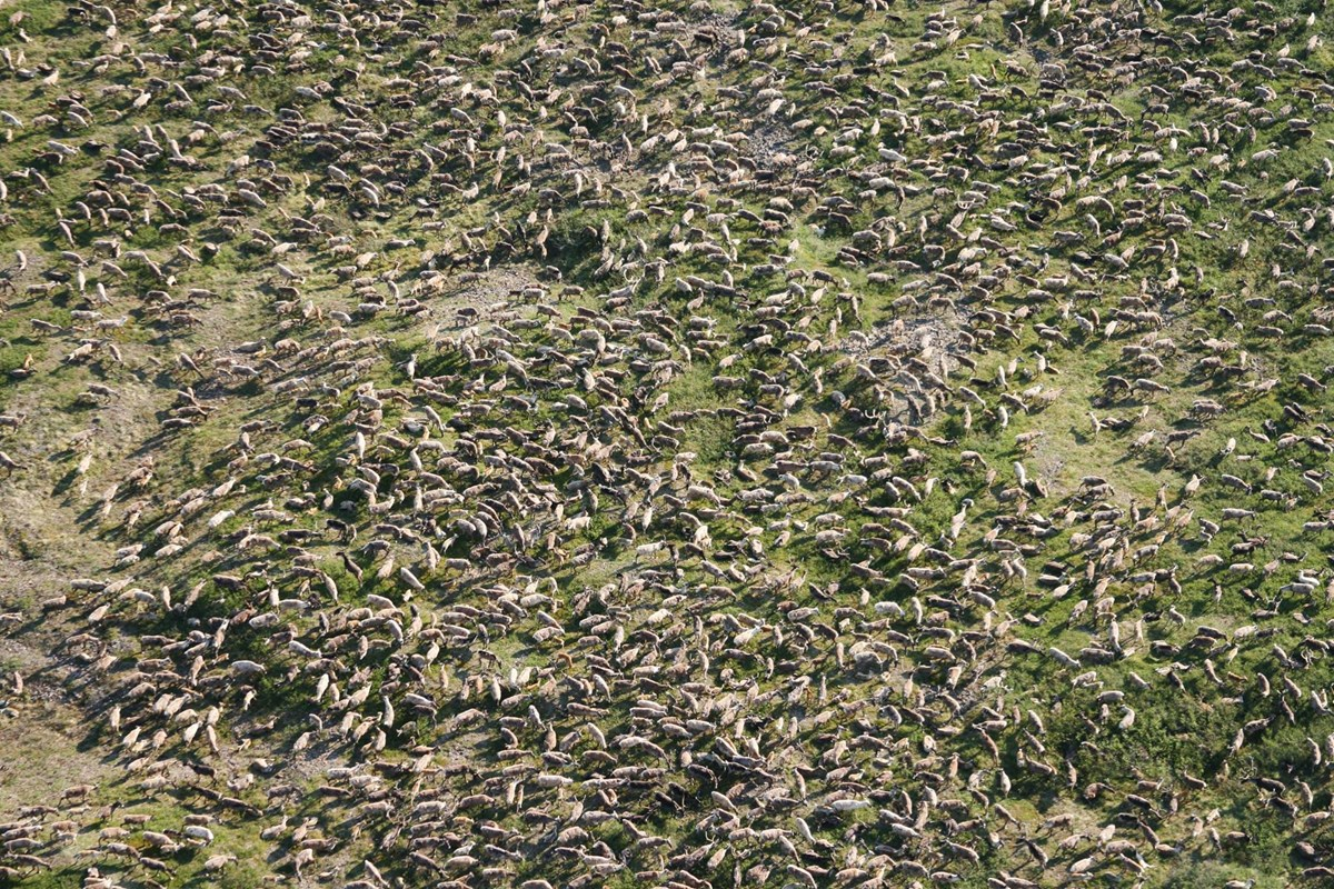 Aerial view of hundreds of caribou in the Western Arctic Herd of northwest Alaska