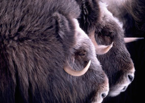 two muskox heads side by side ready to defend themselves and the herd.