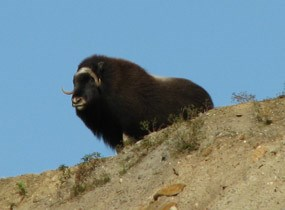 Muskox looking over the edge of a high bluff