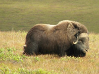 A shaggy muskox stands alone on the tundra