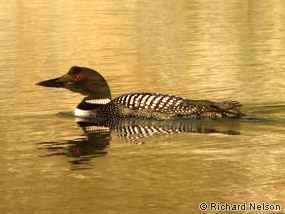 Adult common loon in summer plumage