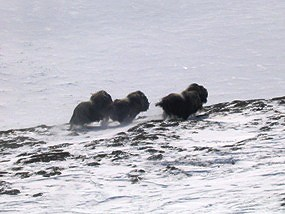 Muskoxen running in the snow.