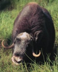 Muskox eating horsetails